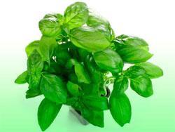 Базилик - полезные свойства, калорийность и вред