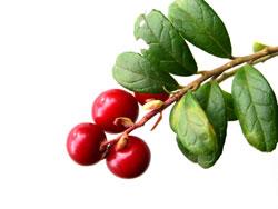 Листья брусники - полезные свойства и противопоказания