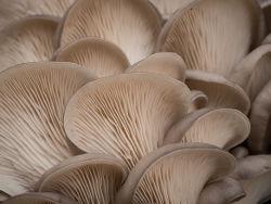 Как отварить вешенки грибы