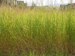 Трава пырей ползучий