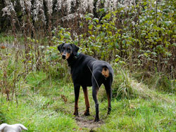 Сон про большую черную собаку