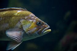 ryba-zhenschine