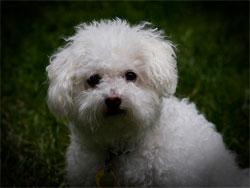 Белая собака во сне