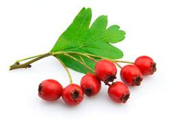 Плоды боярышника - полезные свойства и противопоказания для женщин и мужчин