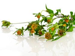 Трава череда - лечебные свойства и противопоказания
