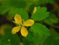 Трава чистотел - лечебные свойства и противопоказания для женщин и мужчин