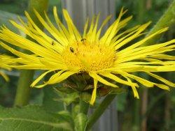 Трава девясил - лечебные свойства и противопоказания для женщин и мужчин