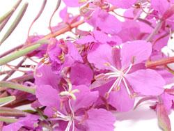 Кипрей узколистный - полезные свойства и противопоказания для женщин и мужчин