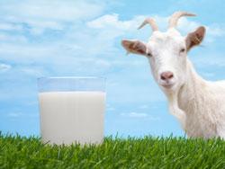 Козье молоко - польза и вред, калорийность
