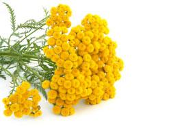 Трава пижма - лечебные свойства и противопоказания для женщин и мужчин