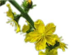 Трава репешок - лечебные свойства и противопоказания для женщин и мужчин