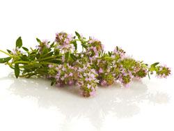 Трава тимьян ползучий - лечебные свойства и противопоказания