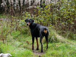 К чему снится большая черная собака?