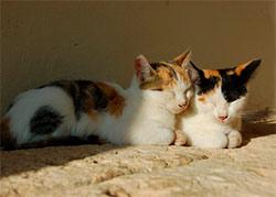 К чему снятся кошки женщине?