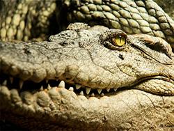 К чему снится крокодил женщине и мужчине?
