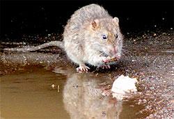 К чему снятся крысы женщине и мужчине?
