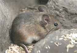 К чему снятся мыши: маленькие серые, летучие, белые и др.