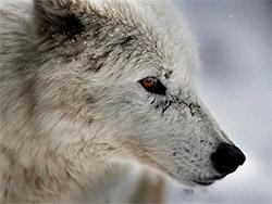 К чему снятся волки женщине и мужчине?