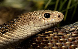 К чему снятся змеи мужчине?